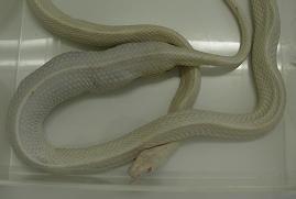 白ヘビ.jpg